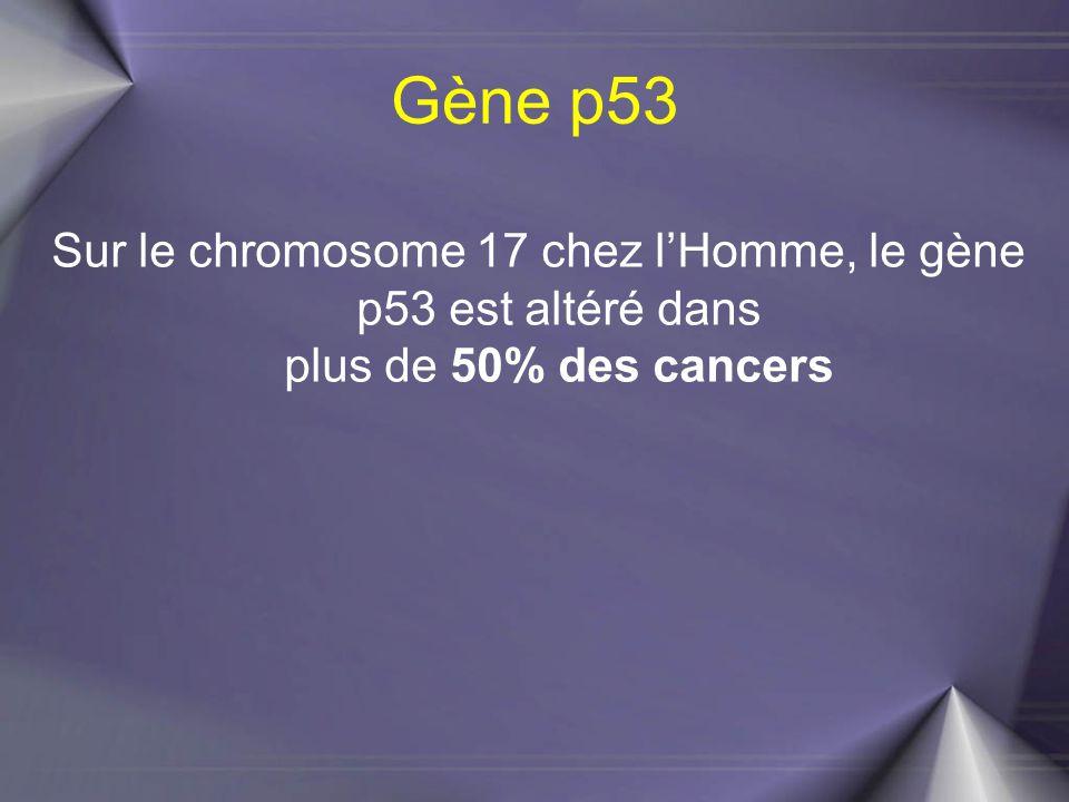 Gène p53 Sur le chromosome 17 chez l'Homme, le gène p53 est altéré dans plus de 50% des cancers.