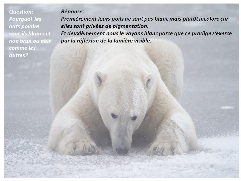 Question: Pourquoi les ours polaire sont-ils blancs et non brun ou noir comme les autres Réponse: