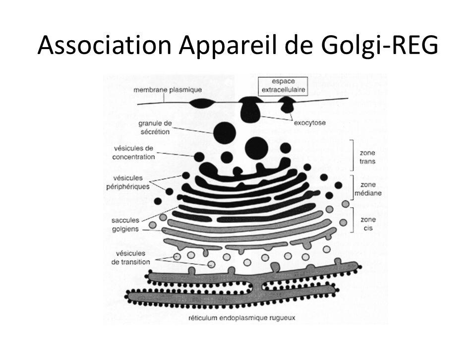 Association Appareil de Golgi-REG