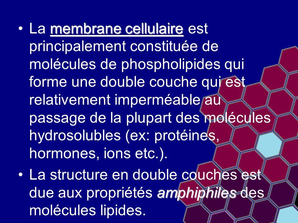 La membrane cellulaire est principalement constituée de molécules de phospholipides qui forme une double couche qui est relativement imperméable au passage de la plupart des molécules hydrosolubles (ex: protéines, hormones, ions etc.).