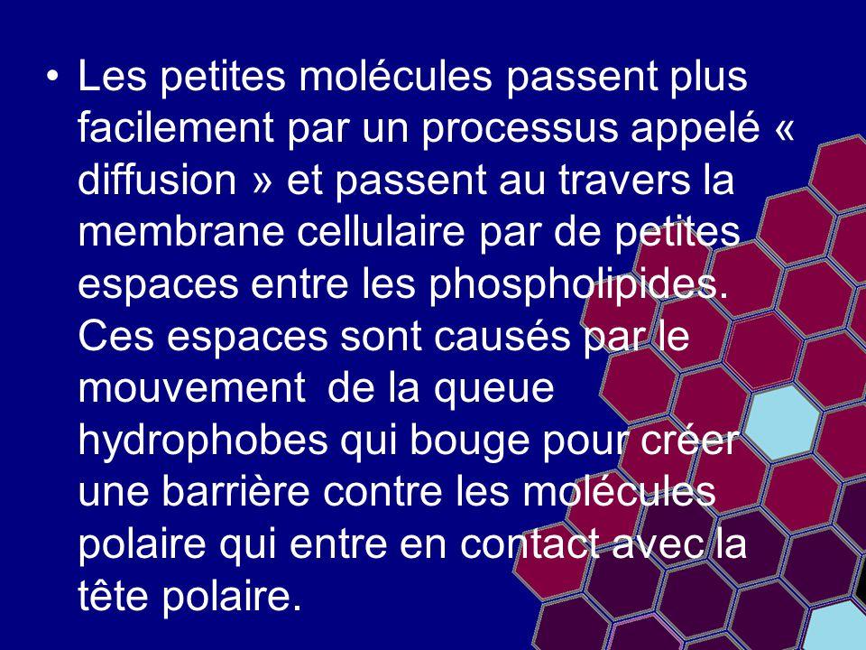 Les petites molécules passent plus facilement par un processus appelé « diffusion » et passent au travers la membrane cellulaire par de petites espaces entre les phospholipides.
