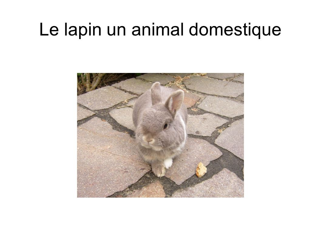 Le lapin un animal domestique