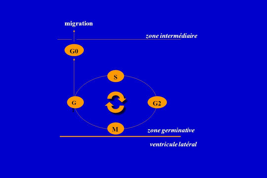 migration zone intermédiaire G0 S G2 M zone germinative