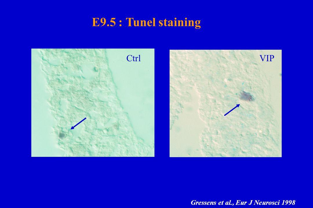 E9.5 : Tunel staining Ctrl VIP Gressens et al., Eur J Neurosci 1998