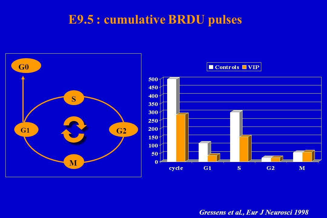 E9.5 : cumulative BRDU pulses