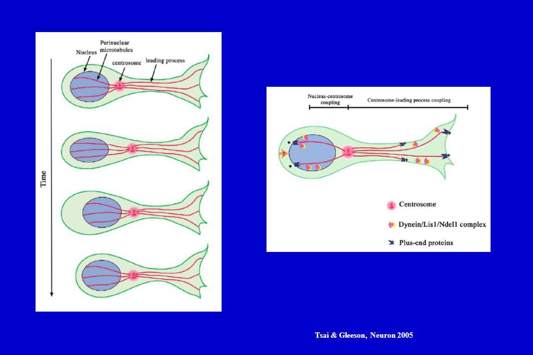 Tsai & Gleeson, Neuron 2005