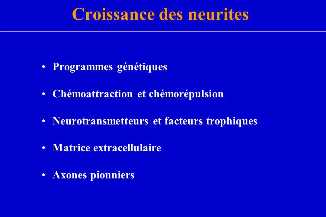 Croissance des neurites