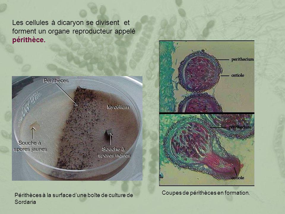 Les cellules à dicaryon se divisent et forment un organe reproducteur appelé périthèce.