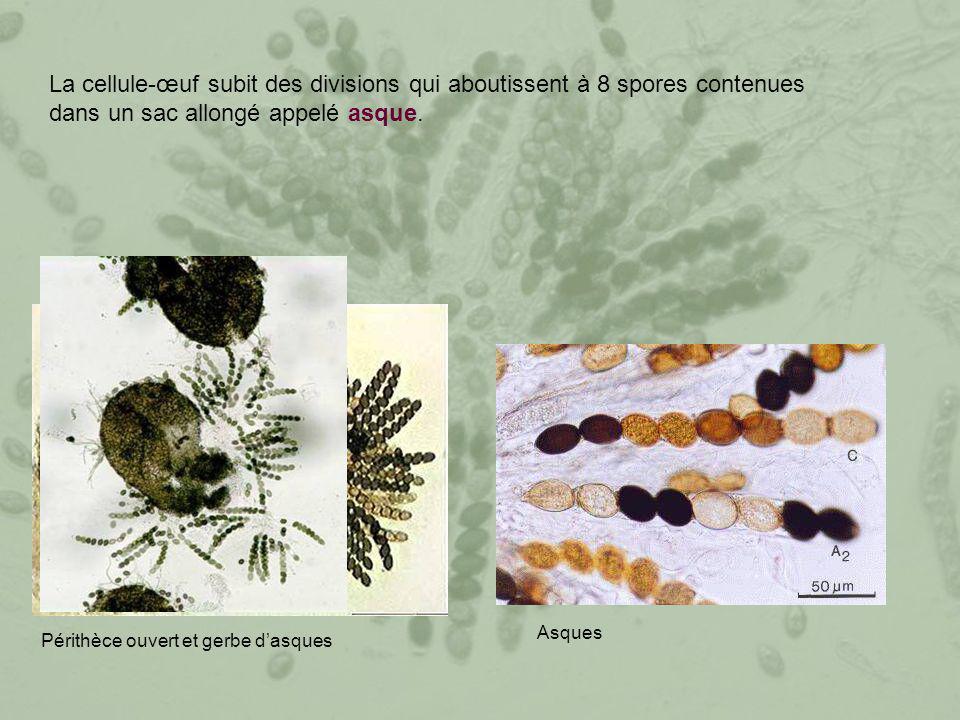 La cellule-œuf subit des divisions qui aboutissent à 8 spores contenues dans un sac allongé appelé asque.
