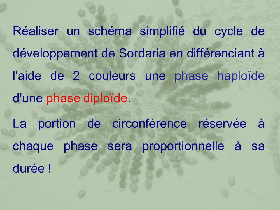Réaliser un schéma simplifié du cycle de développement de Sordaria en différenciant à l aide de 2 couleurs une phase haploïde d une phase diploïde.