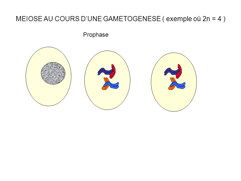 MEIOSE AU COURS D'UNE GAMETOGENESE ( exemple où 2n = 4 )