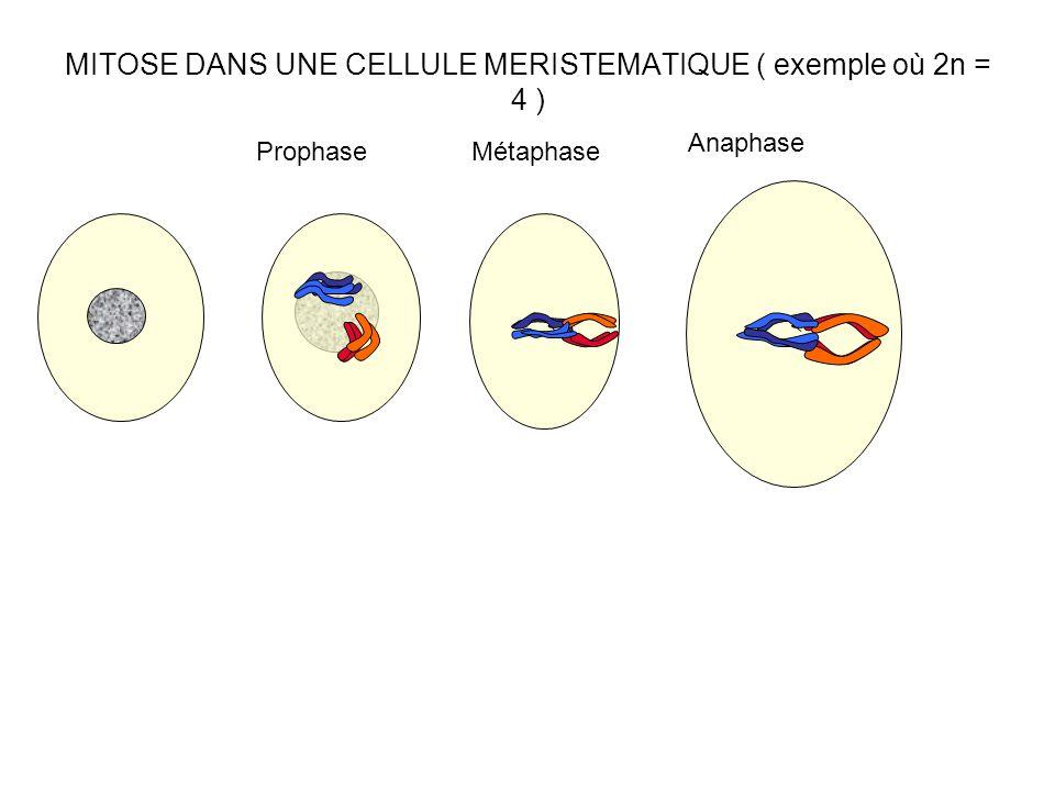 MITOSE DANS UNE CELLULE MERISTEMATIQUE ( exemple où 2n = 4 )