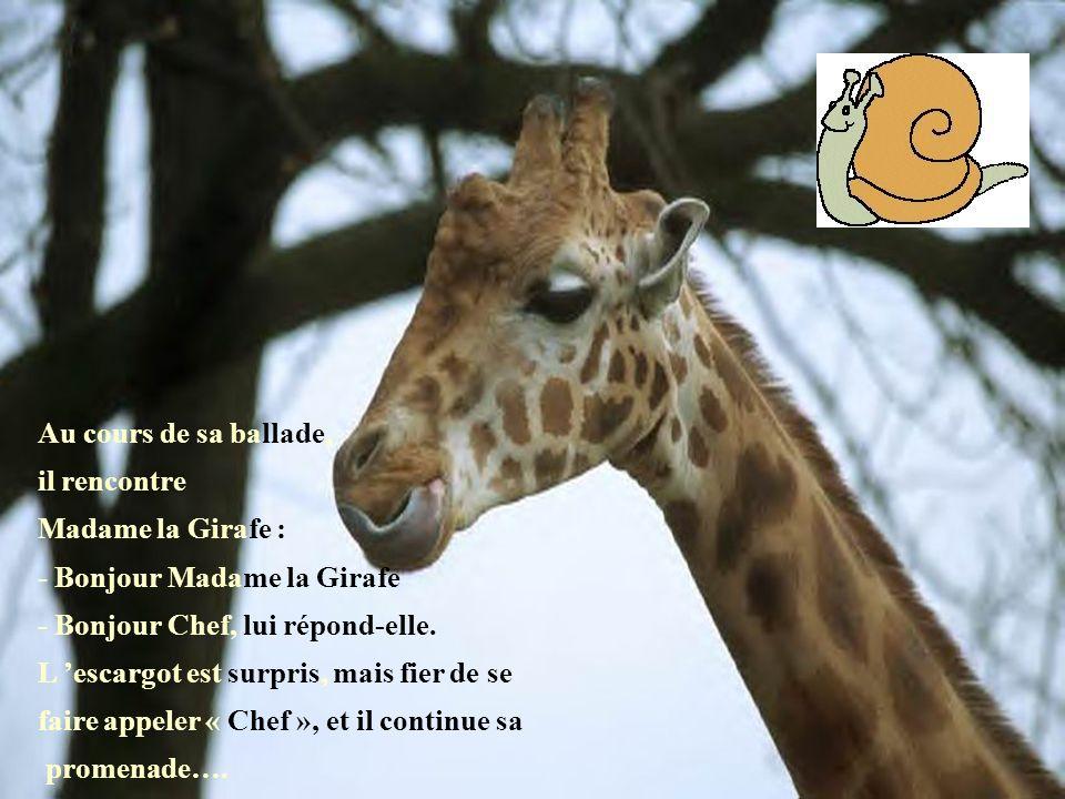 Au cours de sa ballade, il rencontre. Madame la Girafe : - Bonjour Madame la Girafe. - Bonjour Chef, lui répond-elle.