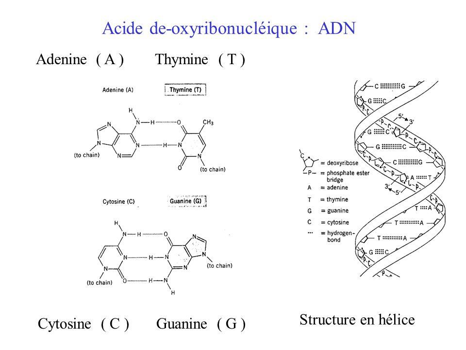 Acide de-oxyribonucléique : ADN