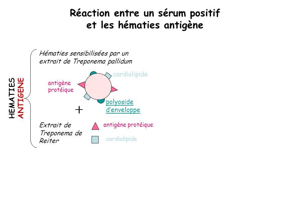 Réaction entre un sérum positif et les hématies antigène