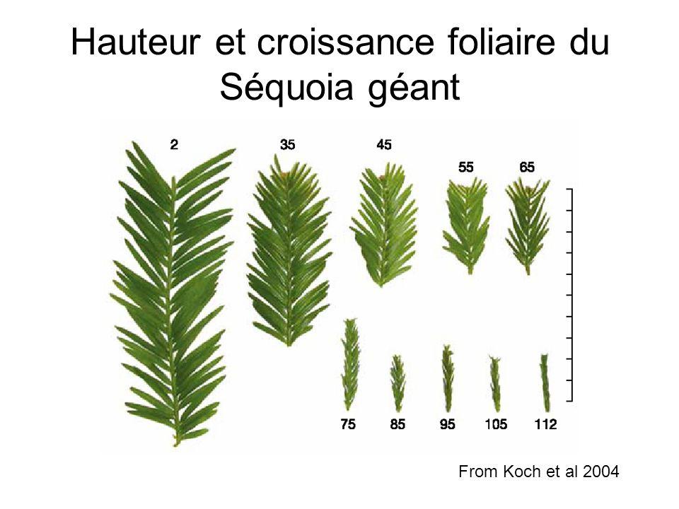 Hauteur et croissance foliaire du Séquoia géant