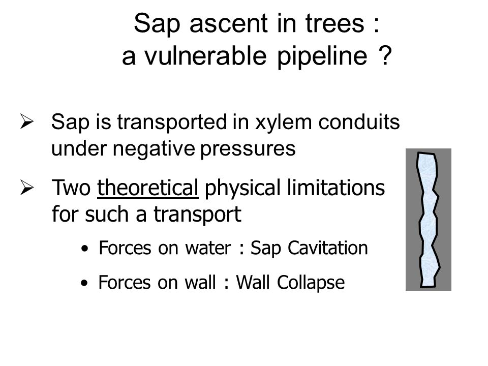 Sap ascent in trees : a vulnerable pipeline