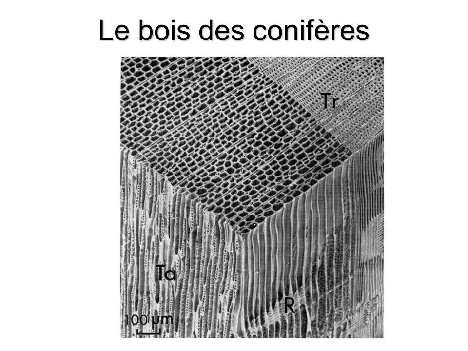 Le bois des conifères