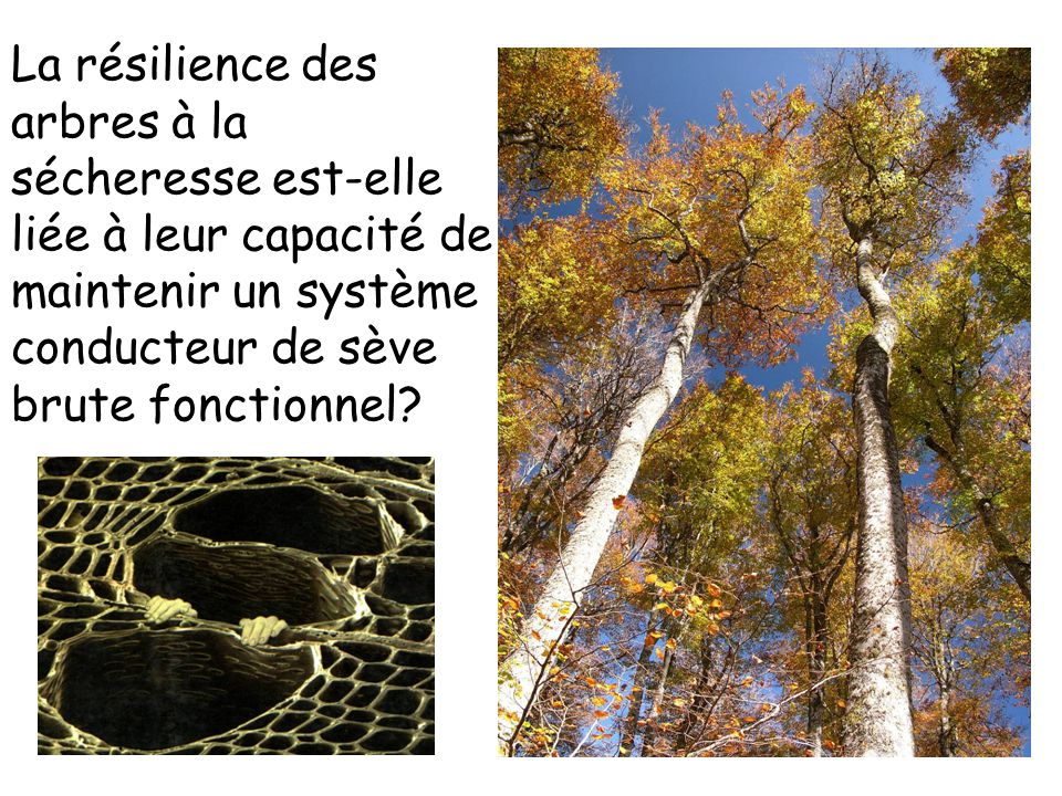 La résilience des arbres à la sécheresse est-elle liée à leur capacité de maintenir un système conducteur de sève brute fonctionnel