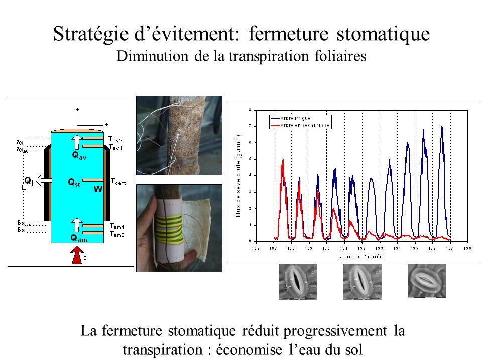 Stratégie d'évitement: fermeture stomatique Diminution de la transpiration foliaires