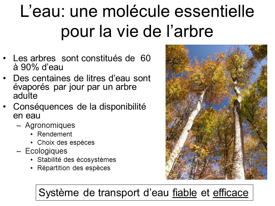 L'eau: une molécule essentielle pour la vie de l'arbre