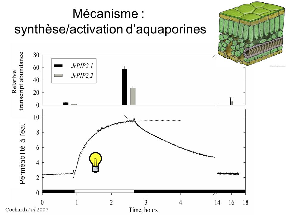 synthèse/activation d'aquaporines