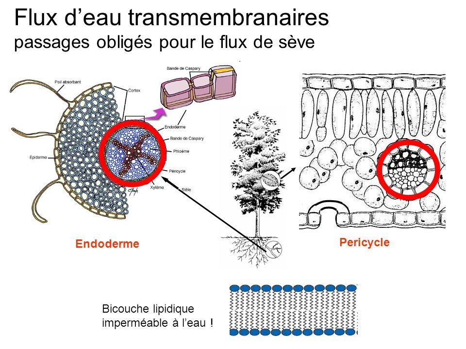 Flux d'eau transmembranaires