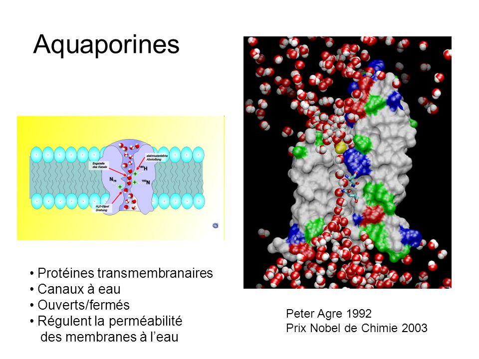 Aquaporines Protéines transmembranaires Canaux à eau Ouverts/fermés