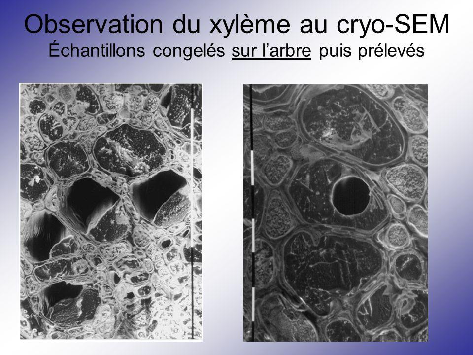 Observation du xylème au cryo-SEM Échantillons congelés sur l'arbre puis prélevés