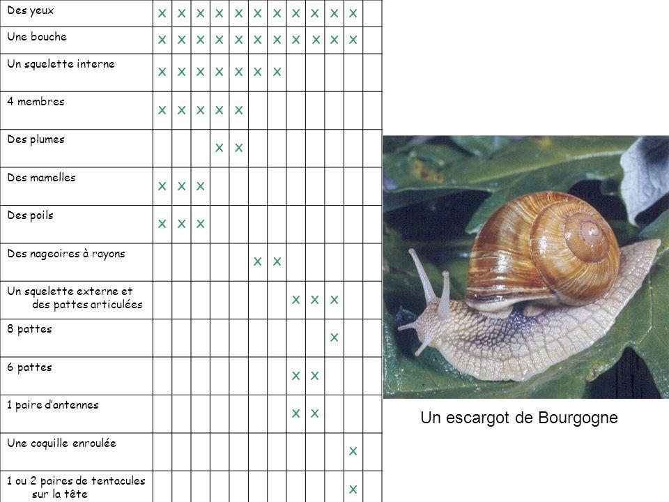Un escargot de Bourgogne
