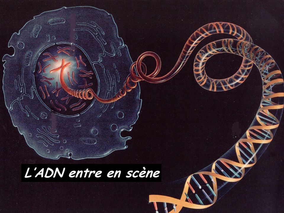L'ADN entre en scène Bertrand JORDAN Informations débats 21 novembre 2006