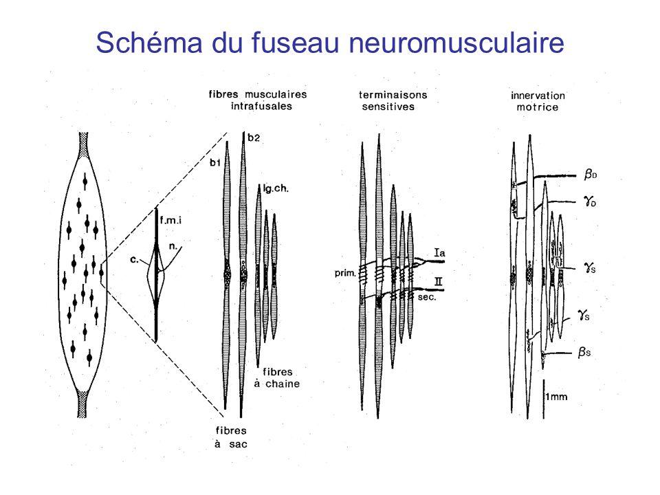 Schéma du fuseau neuromusculaire