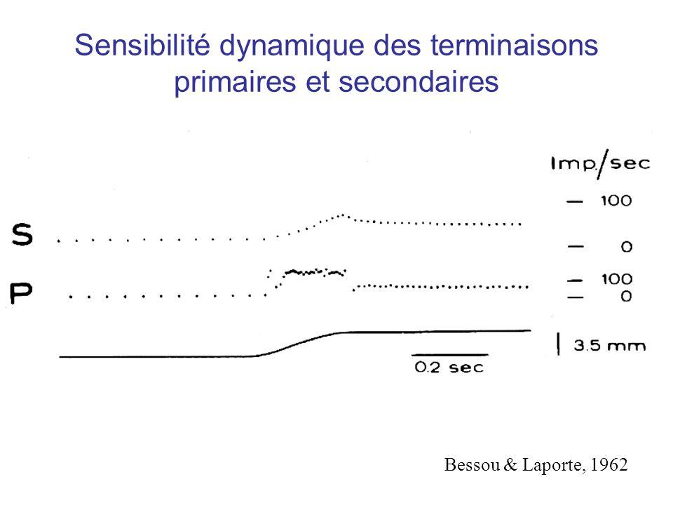 Sensibilité dynamique des terminaisons primaires et secondaires