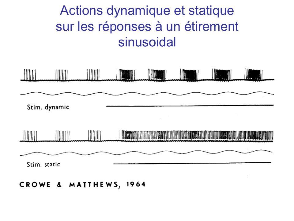 Actions dynamique et statique sur les réponses à un étirement sinusoidal