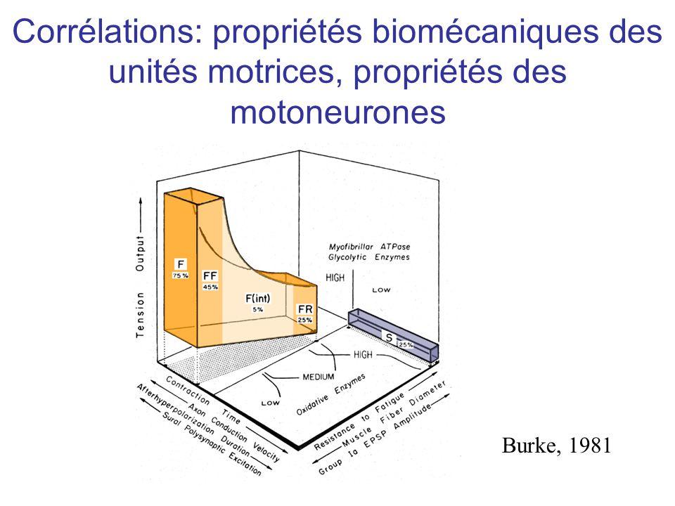 Corrélations: propriétés biomécaniques des unités motrices, propriétés des motoneurones