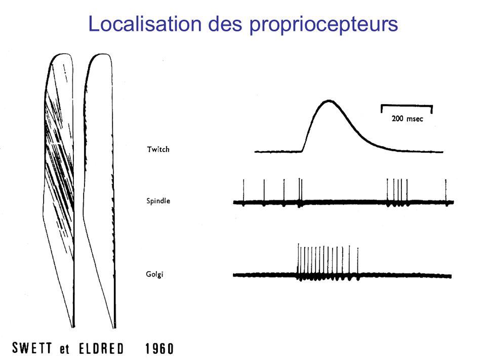 Localisation des propriocepteurs