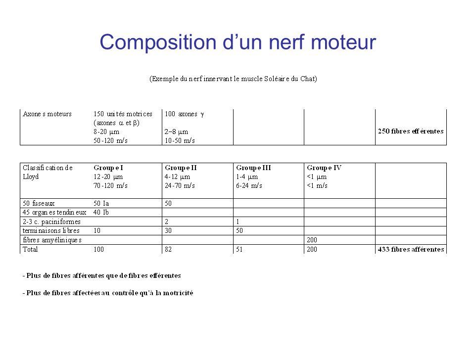 Composition d'un nerf moteur
