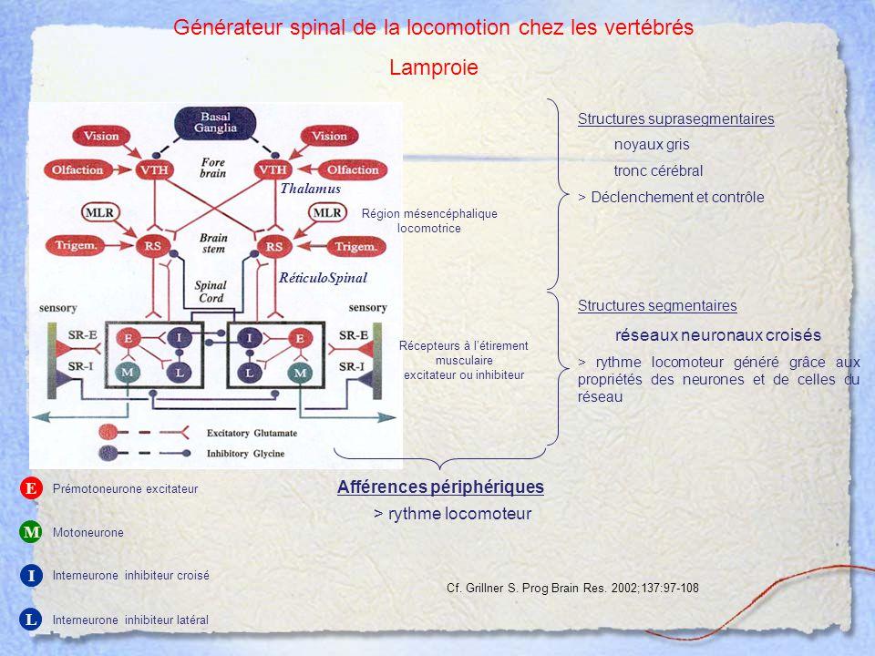 Générateur spinal de la locomotion chez les vertébrés Lamproie