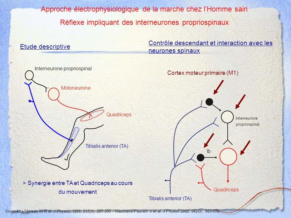 Approche électrophysiologique de la marche chez l'Homme sain
