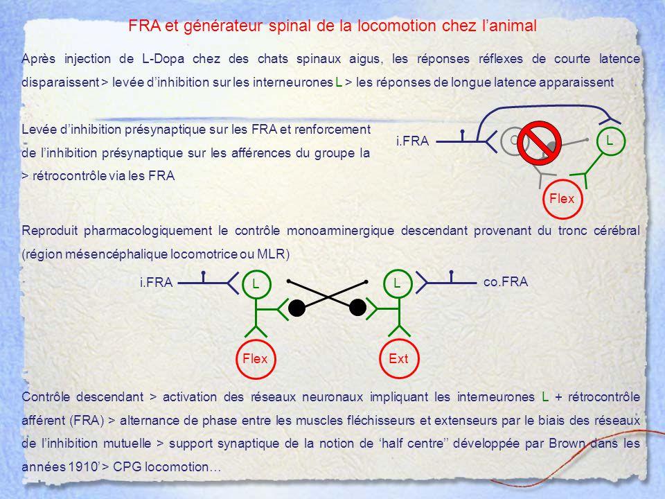 FRA et générateur spinal de la locomotion chez l'animal