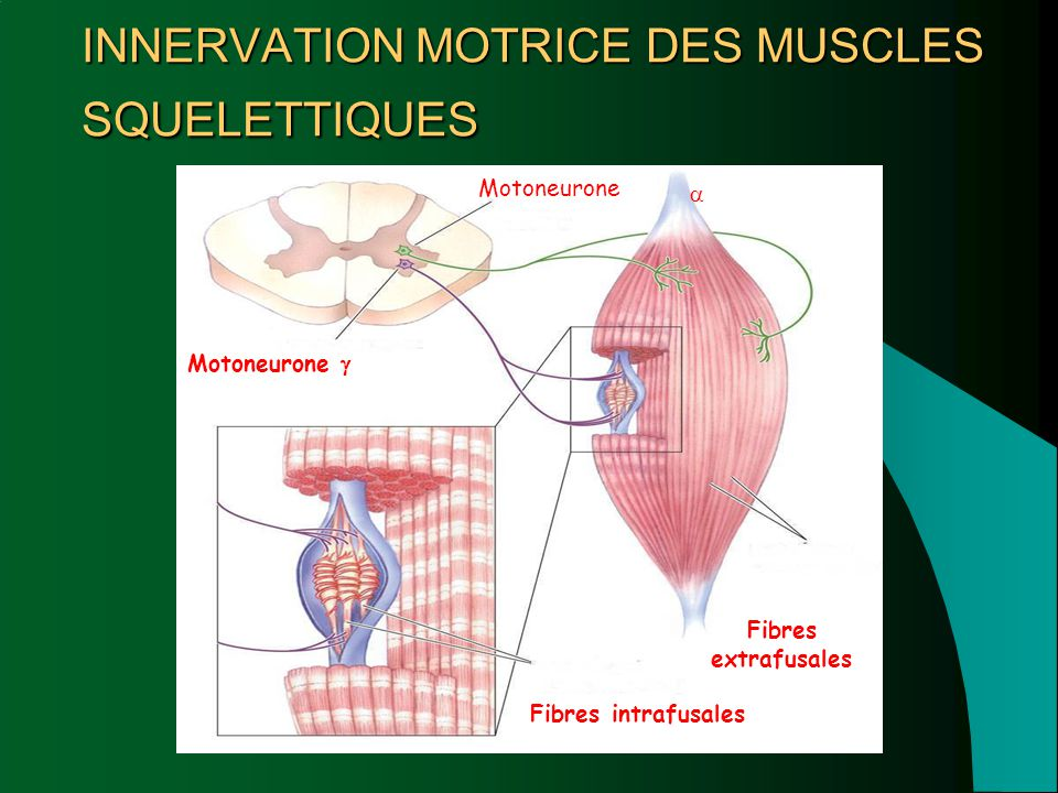 INNERVATION MOTRICE DES MUSCLES SQUELETTIQUES