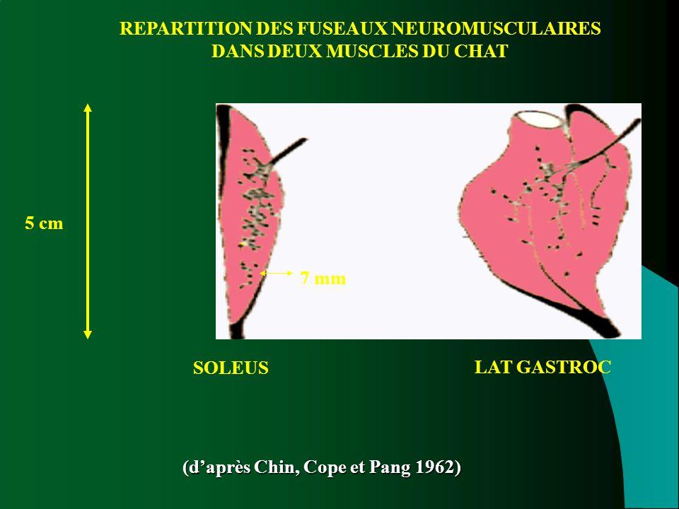 REPARTITION DES FUSEAUX NEUROMUSCULAIRES DANS DEUX MUSCLES DU CHAT