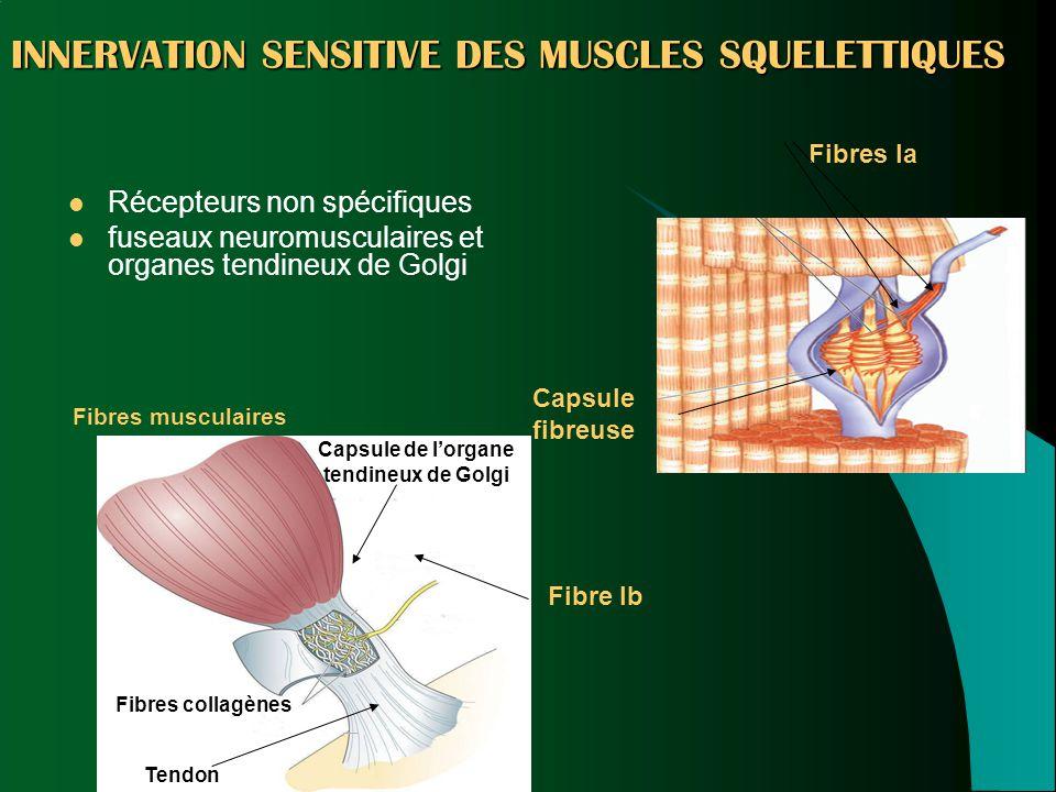 INNERVATION SENSITIVE DES MUSCLES SQUELETTIQUES
