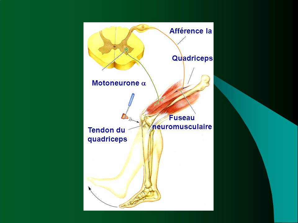 Fuseau neuromusculaire Tendon du quadriceps
