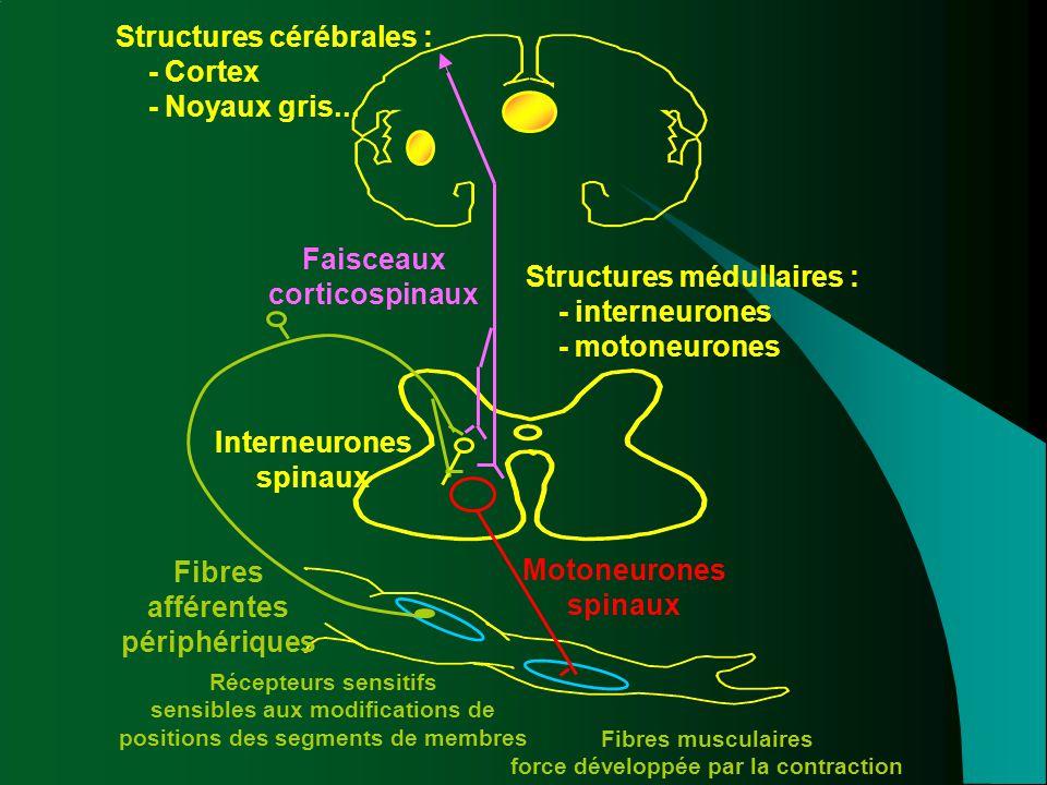 Structures cérébrales : - Cortex - Noyaux gris...