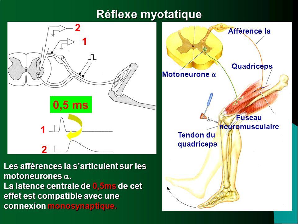 Réflexe myotatique 1. 2. 0,5 ms. Afférence Ia. Quadriceps. Motoneurone a. Fuseau. neuromusculaire.