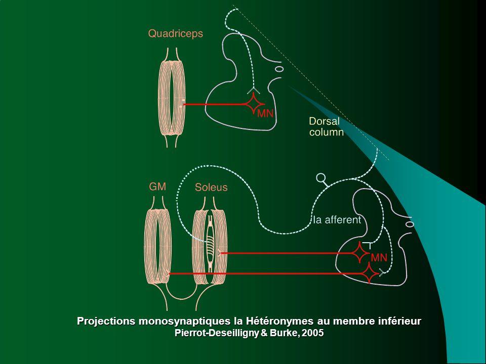 Projections monosynaptiques Ia Hétéronymes au membre inférieur