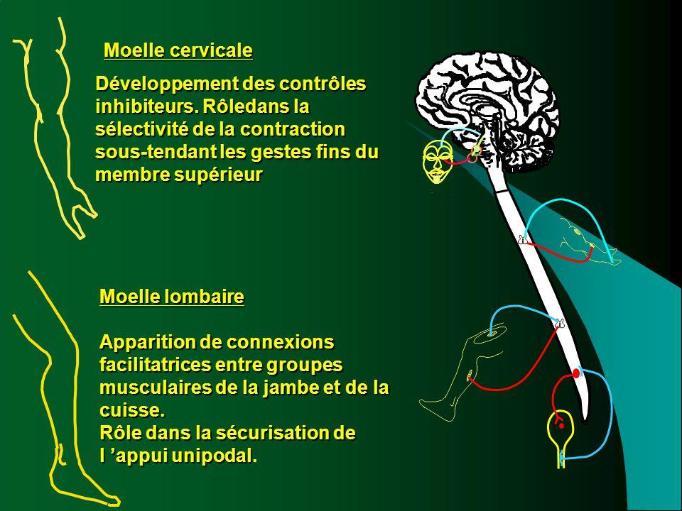 Moelle cervicale Développement des contrôles inhibiteurs. Rôledans la sélectivité de la contraction sous-tendant les gestes fins du membre supérieur.