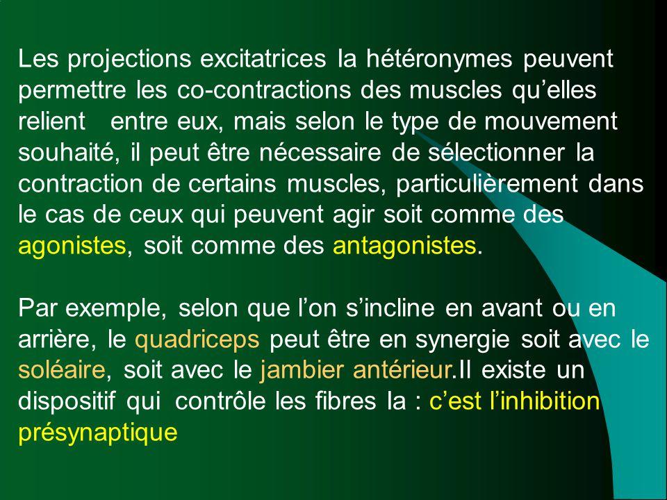 Les projections excitatrices Ia hétéronymes peuvent permettre les co-contractions des muscles qu'elles relient entre eux, mais selon le type de mouvement souhaité, il peut être nécessaire de sélectionner la contraction de certains muscles, particulièrement dans le cas de ceux qui peuvent agir soit comme des agonistes, soit comme des antagonistes.