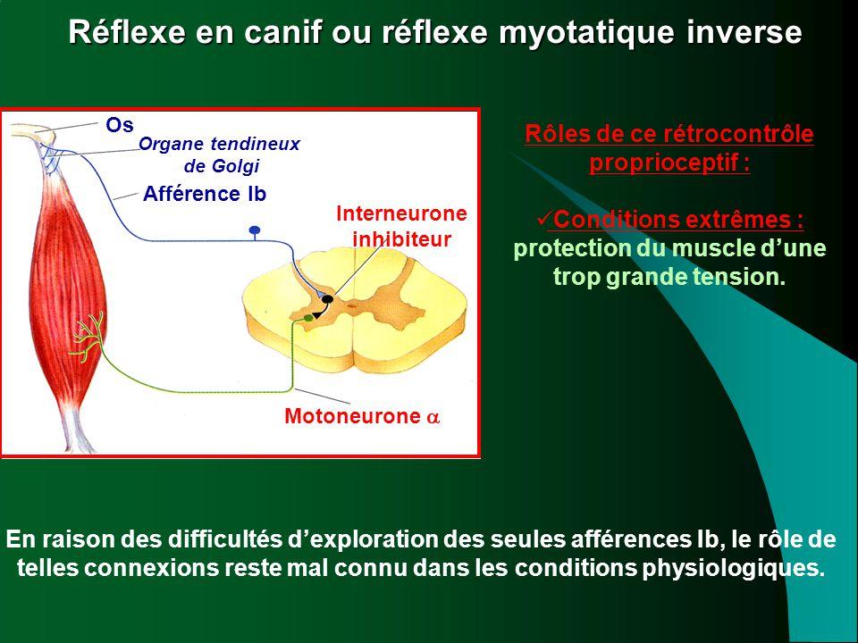 Réflexe en canif ou réflexe myotatique inverse